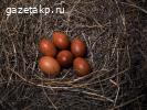 Яйца маранов на инкубацию